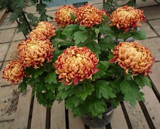 大船植物園菊3
