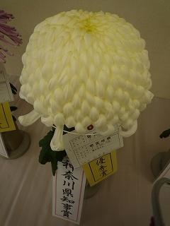 大船植物園菊1