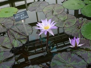 大船植物園熱帯睡蓮2