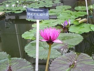 大船植物園熱帯睡蓮3