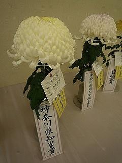 大船植物園菊2