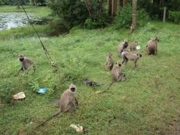 スリランカ猿2