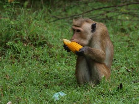 2010スリランカ猿7