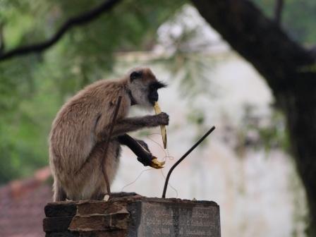 2010スリランカ猿4