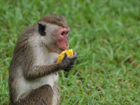 2010スリランカ猿6