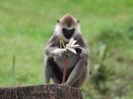 2010スリランカ猿2