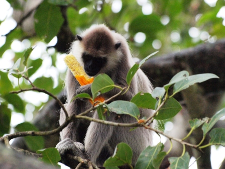 2010スリランカ猿1