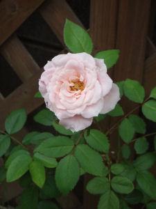 【幸せのバラ】庭先