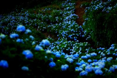 紫陽花_8
