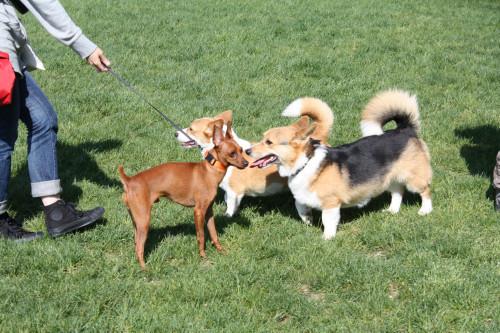 コーギーと犬クン