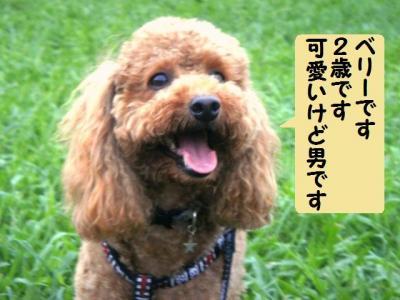 ブログ犬 3 ベリー君