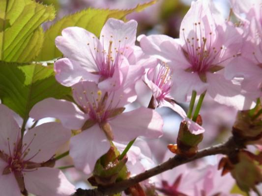 中学校横の桜