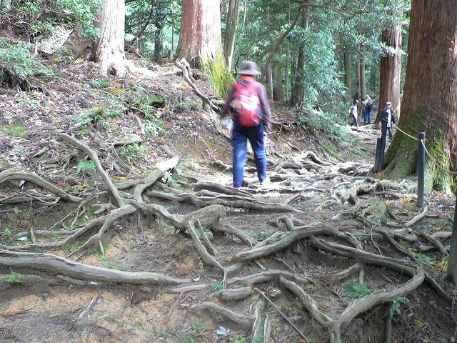 木の根道をいきます
