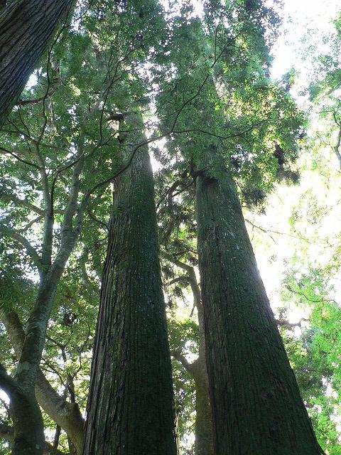 相生の杉を見上げます