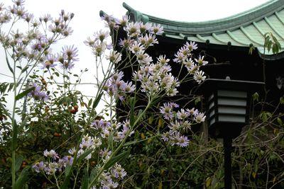 収玄寺~孔雀菊。