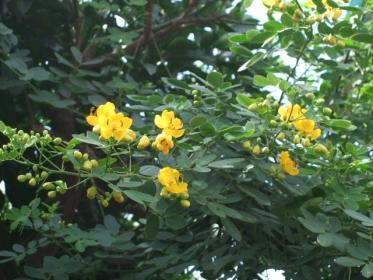 コバノセンナ (2)