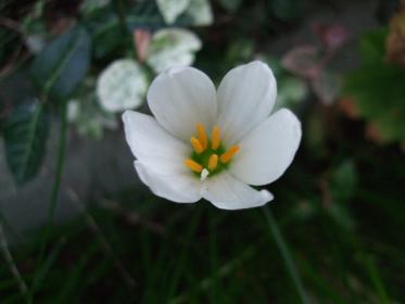 自宅の花 (5)