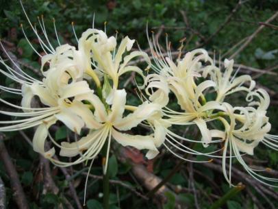 白花ヒガンバナ (3)