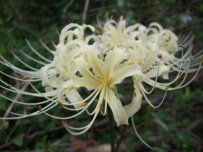 白花ヒガンバナ (4)