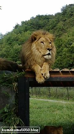 ライオン_2