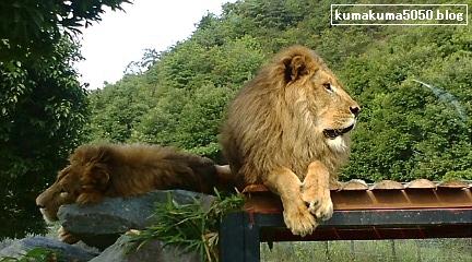 ライオン_1