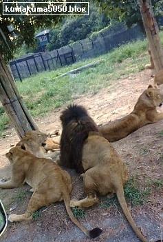 ライオン_6