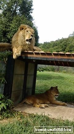 ライオン_5