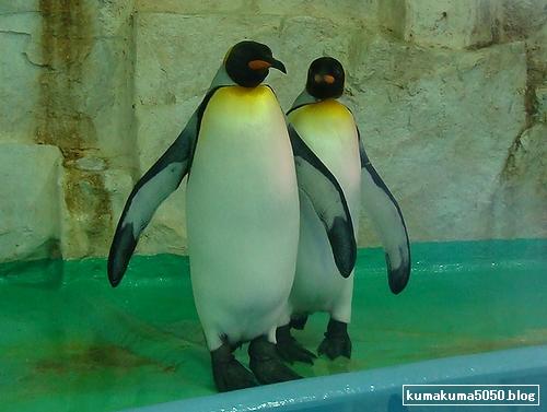 キングペンギン_3
