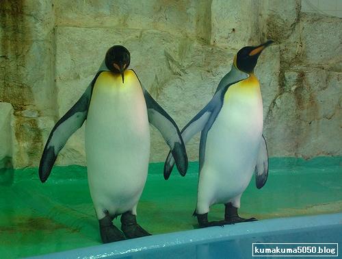 キングペンギン_2