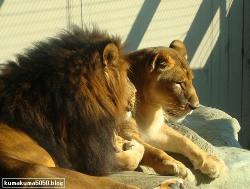 ライオン_150
