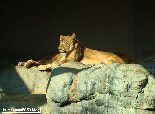 ライオン_153