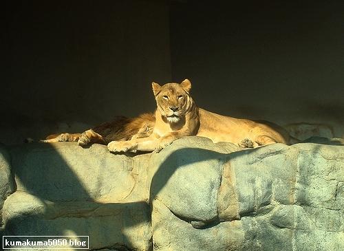 ライオン_154