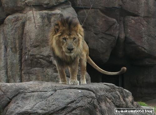 ライオン_192