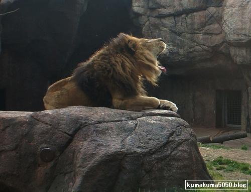 ライオン_190