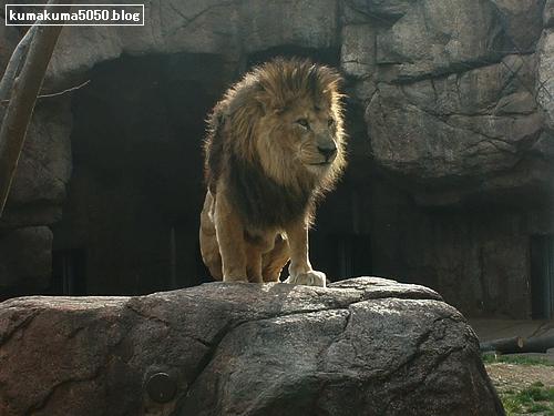 ライオン_188