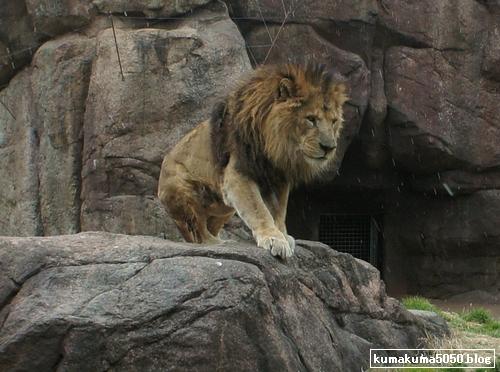 ライオン_193