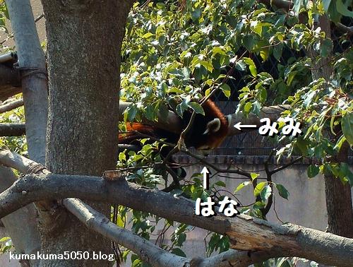 レッサーパンダ_16