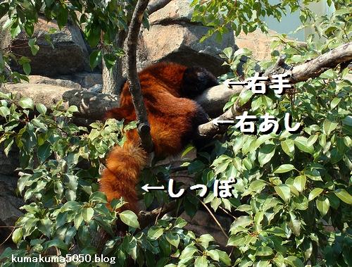 レッサーパンダ_14