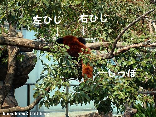 レッサーパンダ_13