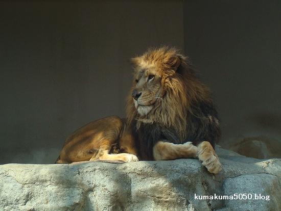 ライオン_226