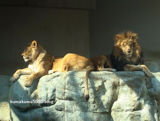 ライオン_223