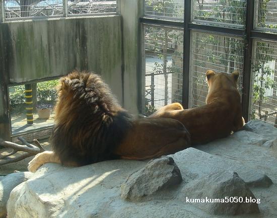 ライオン_224