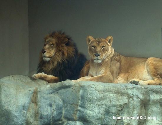 ライオン_221