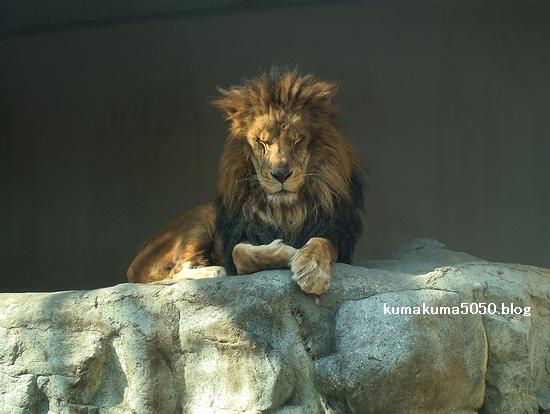 ライオン_227