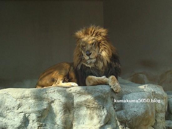 ライオン_229