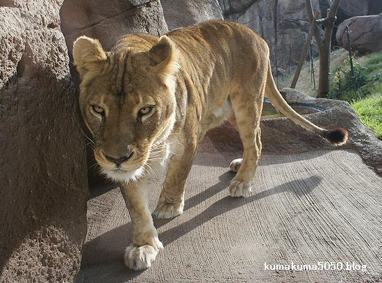 ライオン_181