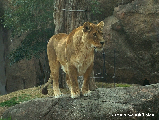 ライオン_180