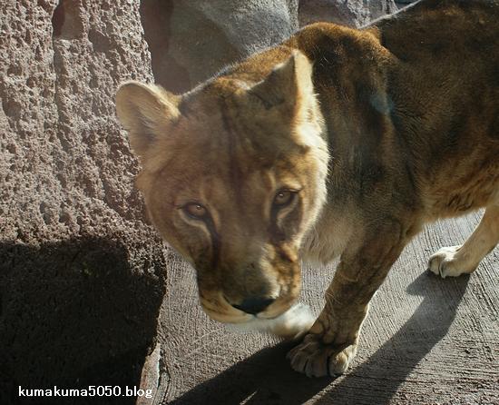 ライオン_179