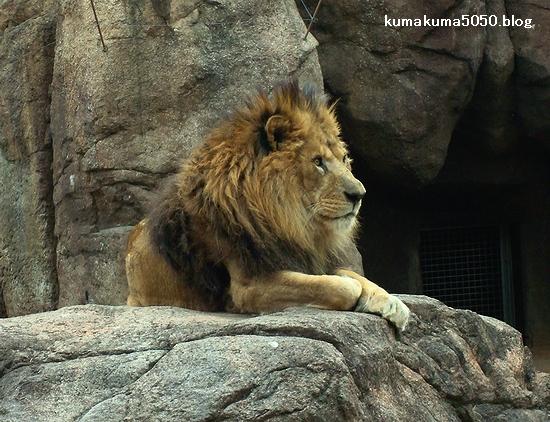 ライオン_177