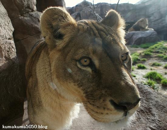 ライオン_184